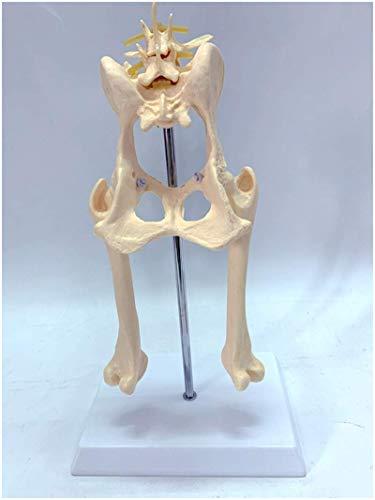 Dog's Hip Bone Joint Model - Educational Model Dog Hip Joint Skeleton Model Canine Dog Lumbar Vertebra Hip Joint with Femur Model for Veterinary Study Teaching