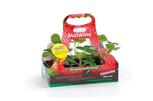 Müllers Grüner Garten Shop Erdbeerpflanze Malwina feste sehr geschmackvolle Erdbeere späteste und robuste Sorte mit hohem Ertrag 6er Tray