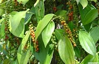 New and Healthy Piper Nigrum Black Pepper Live plant