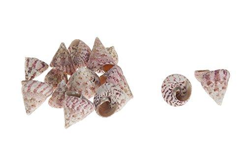 CF-NatureCraft Turmschnecke groß Trocha maculata Natur 4-6 cm ca. 490g Muscheln Schnecken Südsee Karibik Aquarium Deko