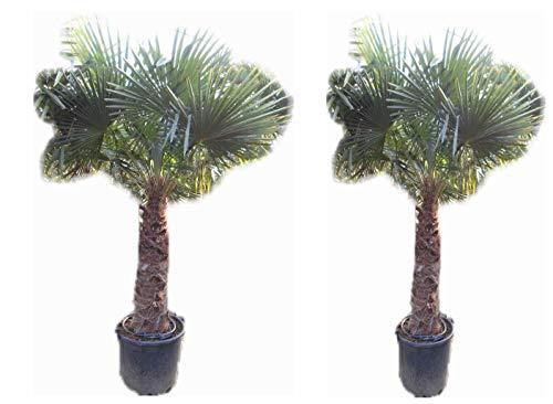 promo : lot de 2 palmiers -18°C:trachycarpus fortunei