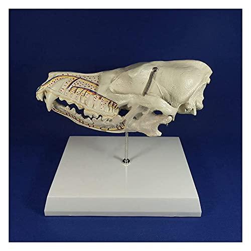 XHLLX Perro caricias Modelo canino Dientes Nervios Modelo Modelo arteriovenoso Modelo Perro cráneo Taxidermy Arte Hueso