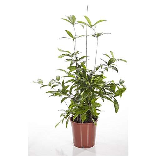 Drachenbaum 50-60 cm Dracaena surculosa Zimmerpflanze