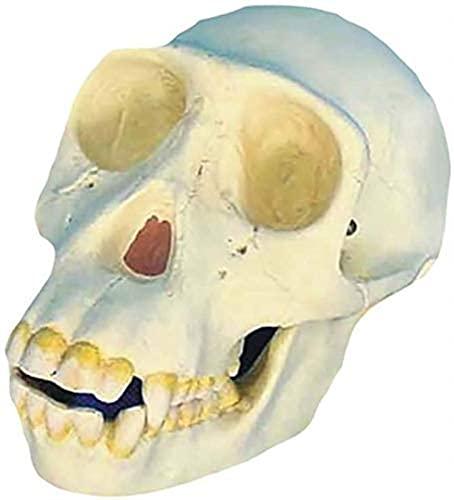 Modelo médico 1: 1 Modelo Chimpanzé Crânio Crânio Humano Modelo Médico Réplica de esqueleto no estudo em exibição Medical Educat
