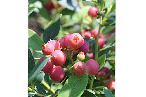 Pink Lemonade Blueberry ( Vaccinium ) - Quart Pot