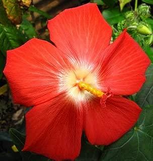 AMBRETTE/Musk Mallow Hibiscus Abelmoschus Moschatus Flower Seeds 40