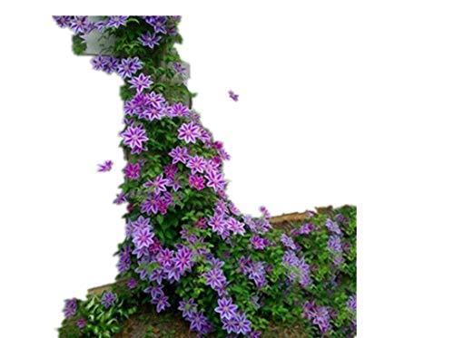 KINGDUO 100Pcs Clematis Flor Semillas Perennes Enredaderas Escalada Clematis Planta Semilla Jardín Decoración-Púrpura