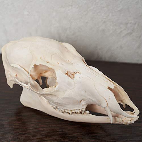 Siberian Musk Deer Taxidermy Skull - Musk-Deer Cleaned Skull, Jaws, Bones, Skeleton, Teeth for Sale - Real, Decor, LIFESIZE, Genuine - ST6698