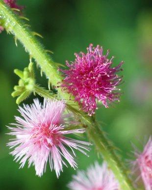 Echte Mimose Faszinierend schön 10 Samen