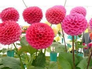 25seeds / sac, dahlia fleur Couleurs mixtes Dahlias Semences pour le bricolage jardin livraison gratuite