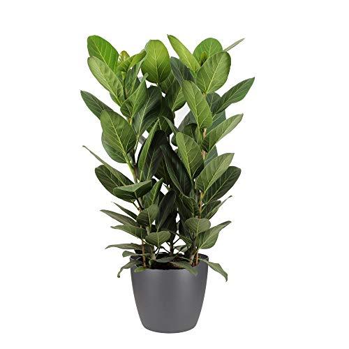 Hellogreen Zimmerpflanze - Ficus Audrey...
