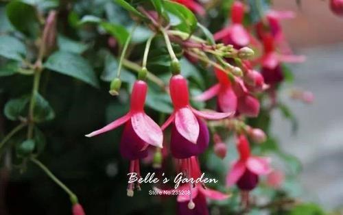 50pcs Multi-couleurs rose pétales de double Fuchsia Graines bon marché Graines Potted belle fleur Graines Bonsai Graines 03