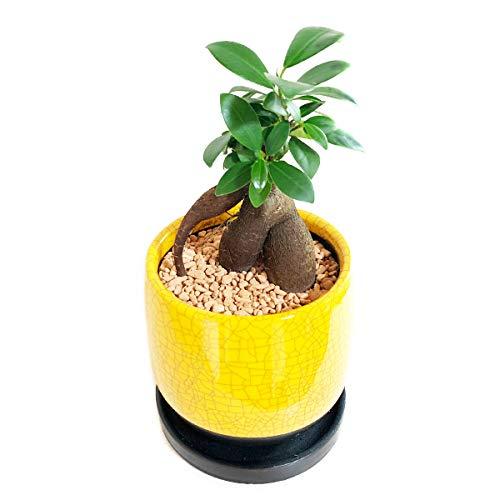 ガジュマル サンライトイエローの陶器鉢植え 卓上サイズ 観葉植物 本物 ガジュマルの木 多幸の木 ガジュマロ 黄色