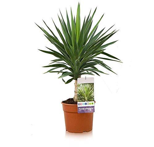 Yucca elephantipes | Yucca elegans | Planta de interior y exterior | Altura 60cm aprox. (Envíos a Península)