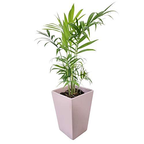 花のギフト社 テーブルヤシ 陶器 鉢植え 観葉植物 インテリア デスクワーク 背景 癒し 白 観葉