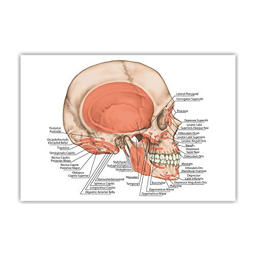 Anne Print Solutions® The Muscles of The Head, Skull Gumming Vinyl Self Adhesive Sticker (Without Frame) Pack of 1 Pcs Size 24 Inch X 36* Inch* Multicolour