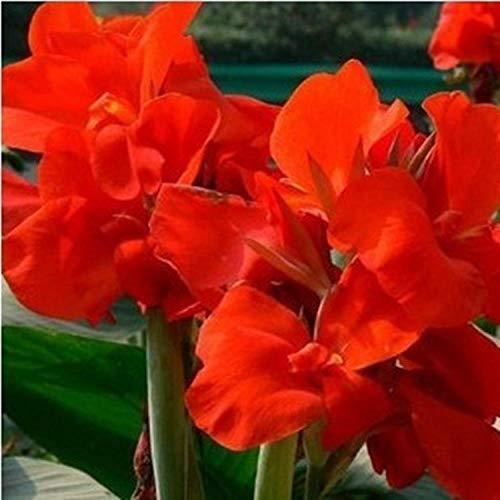 Eastbride Plantes ornementales,Graines de Canna vivaces, Quatre Saisons Floraison intérieure graines de Fleurs en Pot-Red_100 Capsules,Graine parfumée Vivace