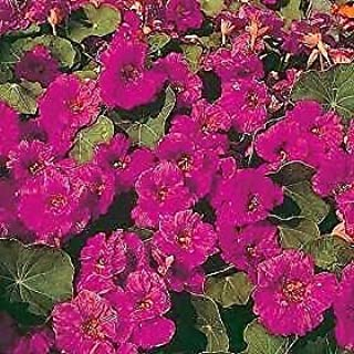 Details About Nasturtium Jewel Cherry Rose 250 Seeds Need More? Ask