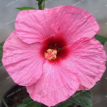100 pcs/sac Mini Hibiscus Graines de fleurs rares Graines Bonsai Rose chinois bricolage jardin fleur plante facile à cultiver 3