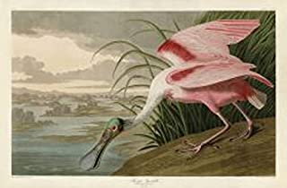 Roseate Spoonbill by John James Audubon Wildlife Bird Animal Nature Poster (Choose Size of Print)