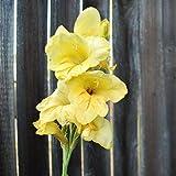 Canna bulbos,Flor de Canna indica,Flor única,Macizo de flores flor flor floreciente planta perenne-2,4bulbos