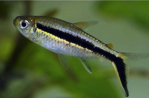 (熱帯魚・カラシン) ペンギンテトラ 1.5cm± (5匹)