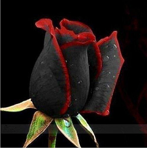 2016 nouvelle 50 Black et Graines rose rouge, couleur rare, riche en arôme, bricolage jardin Rose usine fou promotion-S0098