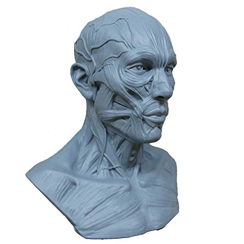 Human Model Craft Anatomy Skull Head Muscle Bone Medical Artist Drawing Study (Blue)