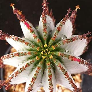 1 Euphorbia polygona Snowflake Cactus Cacti Succulent Real Live Plant