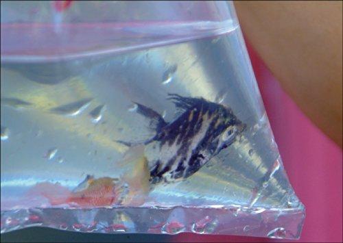 Tier Foto Grußkarte: Zierfisch in der Tüte auch als Gutschein für Aquarium Fans • auch zum direkt Versenden mit ihrem persönlichen Text als Einleger. • lustige Grußkarte mit Umschlag, hochwertig und schön