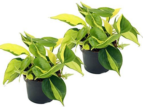 Efeutute, Scindapsus, (Epipremnum aureum) Sorte: Brasil, gelb-grünes-buntes Blattwerk, rankend, Ampelpflanze, luftreinigend (2er Set je im 12cm Topf)