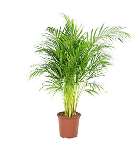 palmier d interieur ikea