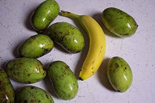 PLAT FIRM Frutas Estado 25 semillas de papaya árbol Asimina triloba frescas...