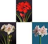 3er Set extragroße XXL (32/34) gefüllte Amaryllis Hippeastrum, Ritterstern, 3 verschiedene Farben Amarylliszwiebel