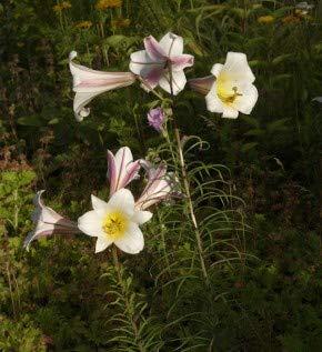 Königslilie - Lilium regale