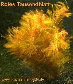 Mühlan Wasserpflanzen 3 Bunde rotes Tausendblatt Myriophyllum