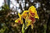 Canna indica bulbos/Plantas vivas cultivadas en casa de fama mundial/Blendend-1,5bulbos