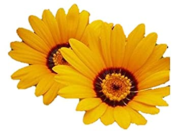African Daisy 100 Seeds Orange Yellow Mix Cape butterfy #49  100 Seeds