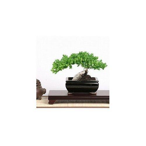 SKG INC.'s Medium Trained Juniper Bonsai'Karate Kid Bonsai Tree'