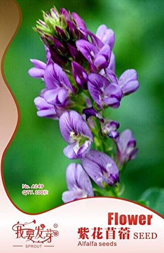 Embalagem Original De Alfafa Sementes Perene Medicago Sativa Sementes Hardy Flores Forragem Sementes - 100 Pz