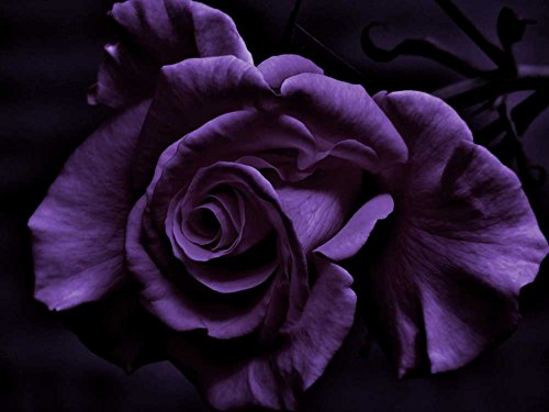 Purple Rose - Art Print on Canvas (32x24 inches, unframed)