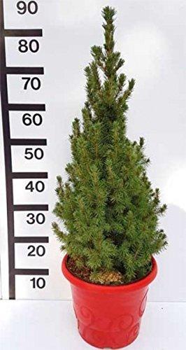 Weihnachtsbaum Zuckerhut-Fichte Weißfichte Picea glauca Conica weihnachtsroter Topf ohne_Dekoration_aber_roter_Topf