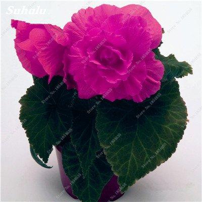 Nouveau! 150 Pcs Begonia Graines Bonsai Graines de fleurs Bonsai Maison & Jardin Flor Plantes en pot Purifier l'Office Air Bureau Fleurs 15