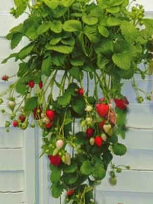 Erdbeerpflanzen 10 Hängeerdbeere/Kletteredbeere Pflanzen im 10er Tray Erdbeeren Pflanzware