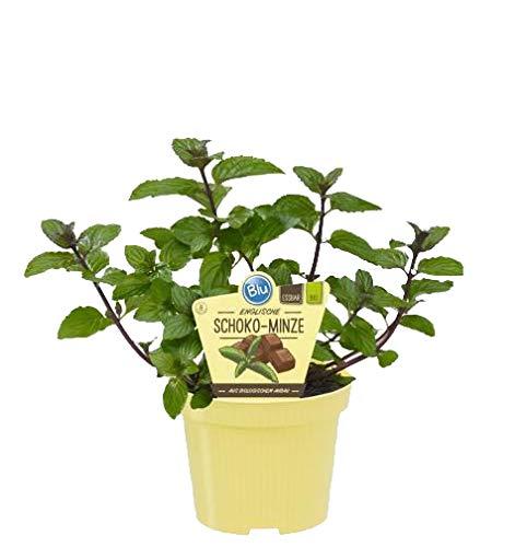 Bio Minze Schoko-Minze (Menta x piperita), Kräuter Pflanzen aus nachhaltigem Anbau, (1 Pflanze)