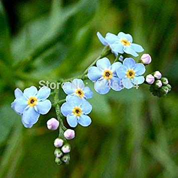 ASTONISH Erstaunen SEEDS: Eingemachte Blumensamen sylvatica, Vergißmeinnicht Samen, Meerlavendel, etwa 50 Teilchen