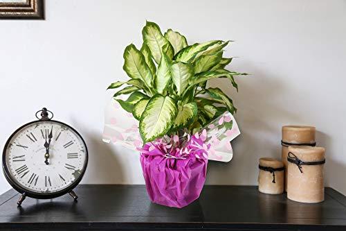 哥斯达农场愚蠢的甘蔗Dieffenbachia,现场室内植物装饰包装,礼物,16至20英寸高