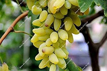 VISTARIC 7: Bonsai Finger de pépins de Raisin Dã©Licieux Plantes en Pot Bio pour Plantes ornementales Maison et Jardin Can Comestible sain Fruit semences 60 Pcs 7