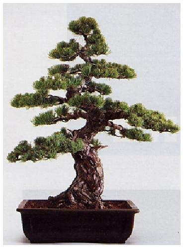 TROPICA - Pin blanc du Japon (Pinus parviflora) - 12 graines- Bonsai