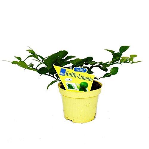 Exotenherz - Kaffir-Limette - Citrus hystrix - 1 Pflanze - Kaffernlimette Gewürzpflanze